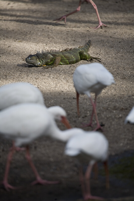 Iguana in Sand with Ibises
