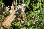 Iguana in Vegetation
