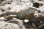 Iguana on Roots