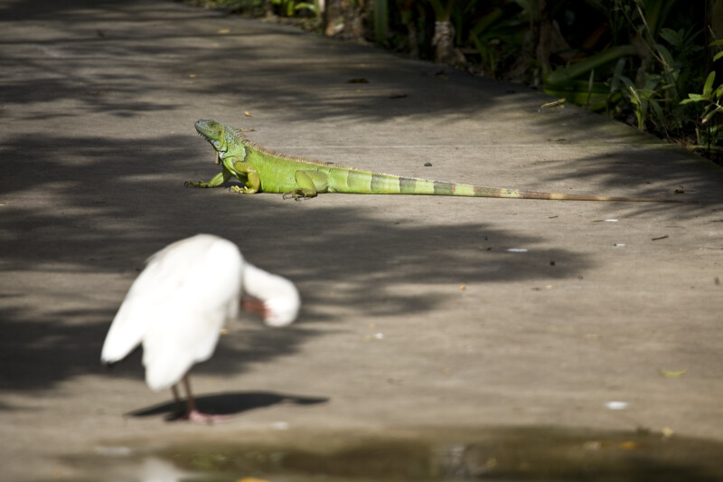 Iguana on Sidewalk