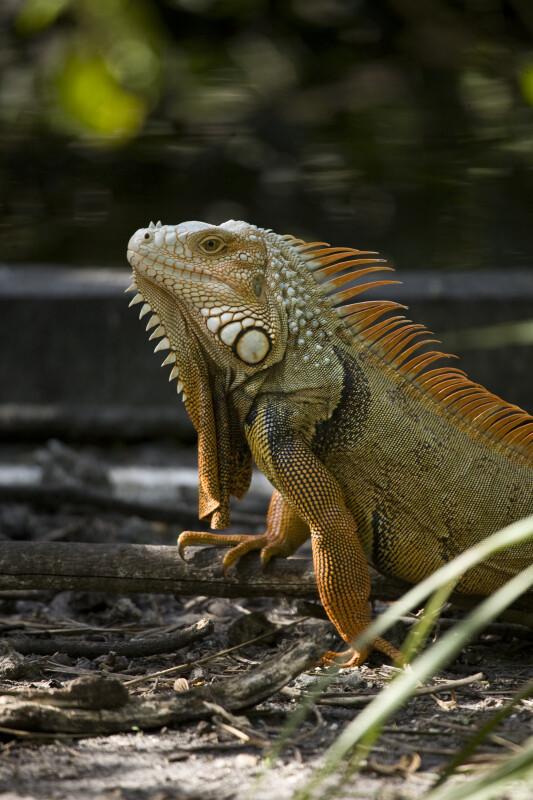 Iguana on Stick