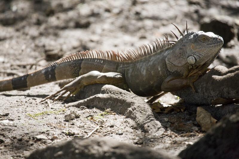 Iguana Resting