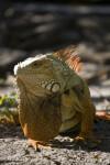 Iguana Standing in Dirt