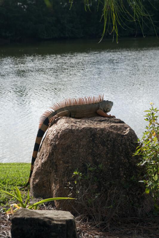 Iguana Sunning