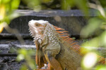 Iguana Through Foliage