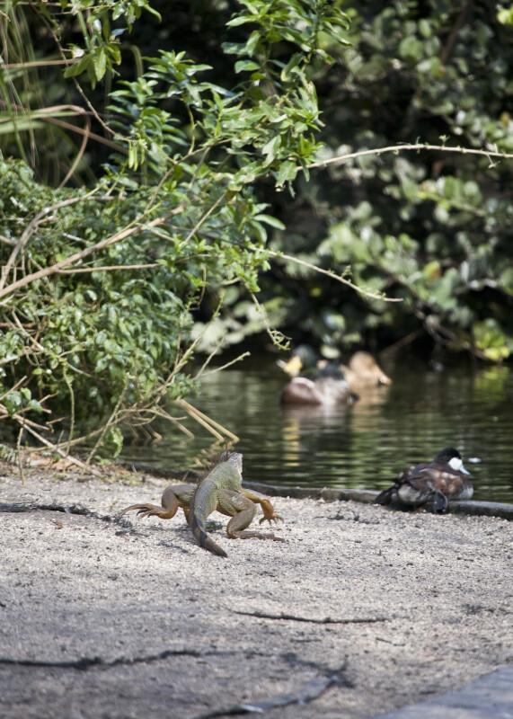 Iguana RunningTowards Water