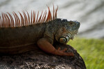 Iguana with Grey to Orange Spines