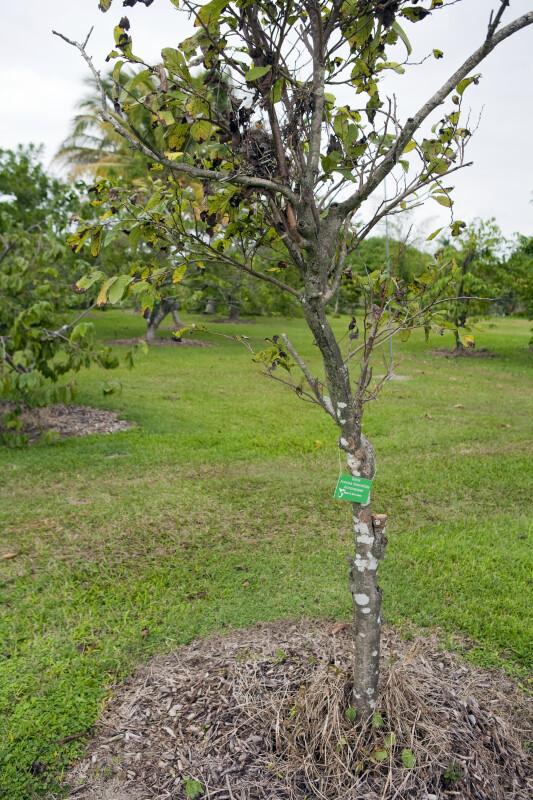 Ilama Tree