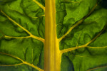 Illuminated Swiss Chard Leaf with Yellow Stalks and Veins