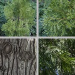 Incense Cedar Trees photographs