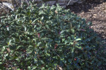 Indian Hawthorn Shrub