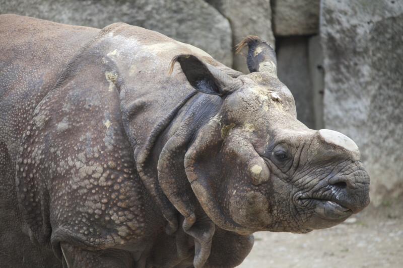 Indian Rhinoceros Close Up