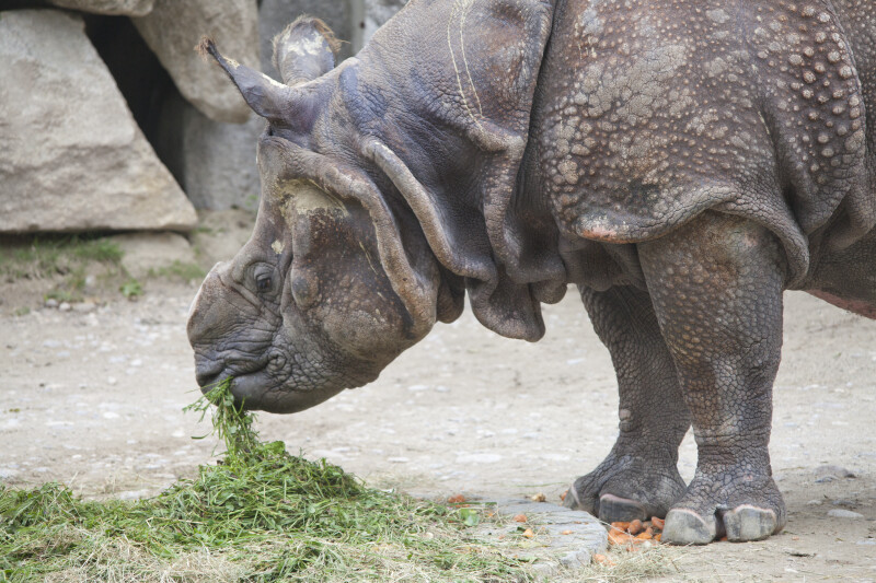 Indian Rhinoceros Eating Grass