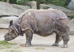 Indian Rhinoceros Foraging