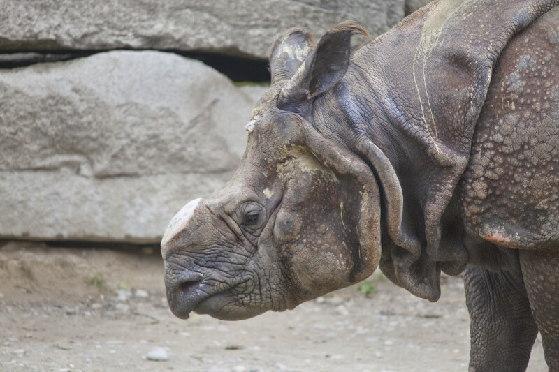 Indian Rhinoceros Head