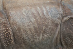 Indian Rhinoceros Skin