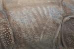Indian Rhinoceros Skin