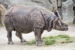 Indian Rhinoceros Standing Over Grass