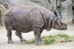 Indian Rhinoceros Standing Over Grass
