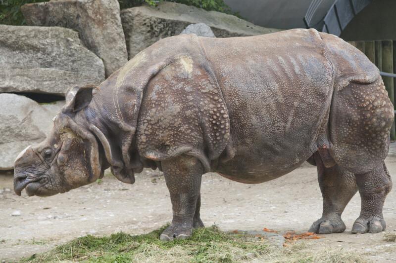 Indian Rhinoceros Standing