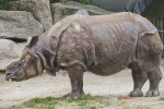 Indian Rhinoceros Standing