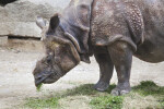 Indian Rhinoceros With Grass In Its Mouth