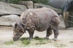 Indian Rhinoceros With Head Lowered