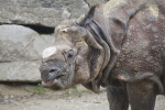 Indian Rhinoceros With Horn Removed