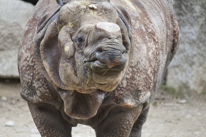 Indian Rhinoceros With Mouth Closed