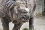 Indian Rhinoceros With Mouth Open