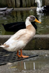 Indian Runner Duck by Water