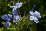 Indigo Flower Buds and Flowers