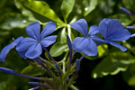 Indigo Flowers and Flower Buds