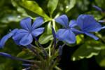 Indigo Flowers and Flower Buds
