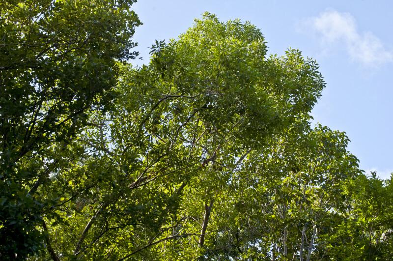 Inkwood (Exothea paniculata) Tree Tops