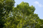 Inkwood (Exothea paniculata) Tree Tops