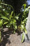 Inner Light (Heliconia caribaea x bihai)