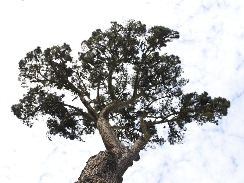Insignis Pine