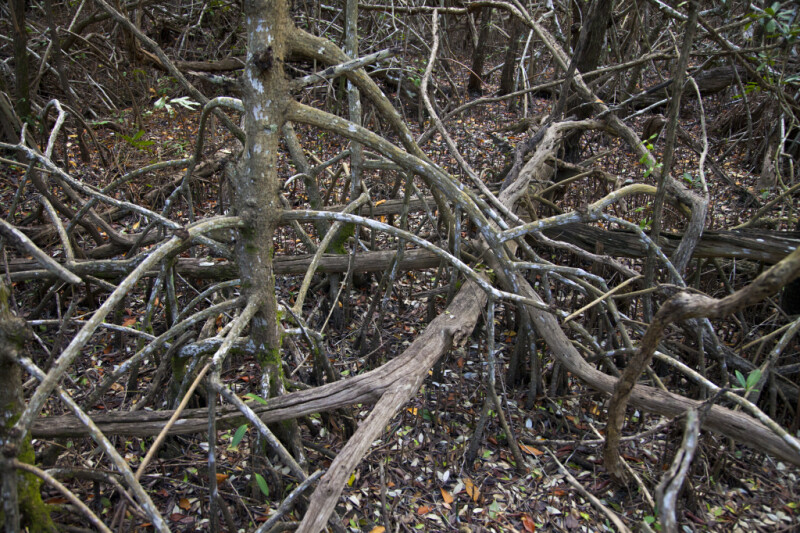Intermingled Mangrove Roots