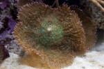 Invertebrate with Green Center