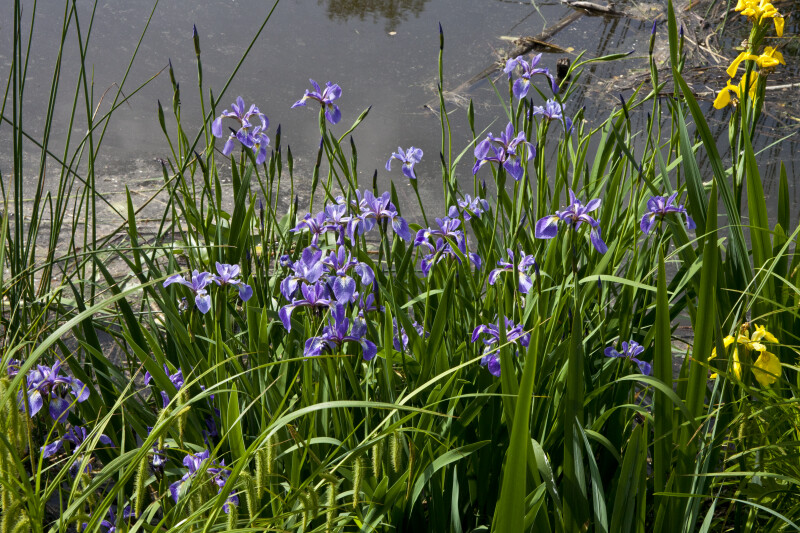 Iris Flowers, Buds, & Leaves