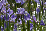 Iris Flowers & Buds