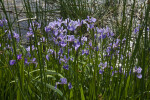 Irises With Purple Flowers