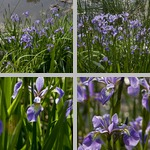 Irises photographs