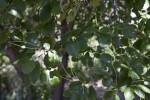 Island Mountain Mahogany Leaves