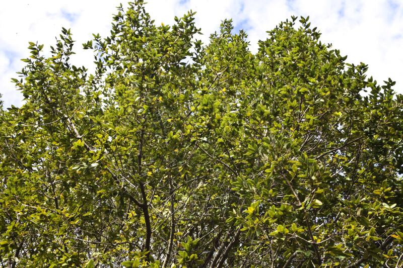 Island Oak Branches