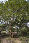 Island Oak Tree Full View