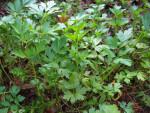 Italian Parsley Plant