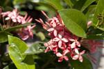 Ixora 'Maui' Flowers