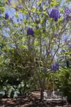 Jacaranda cuspidifolia Tree